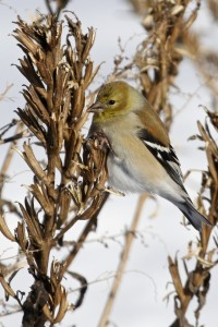 ~American Goldfinch on Missionland Road, 1/31/15.~