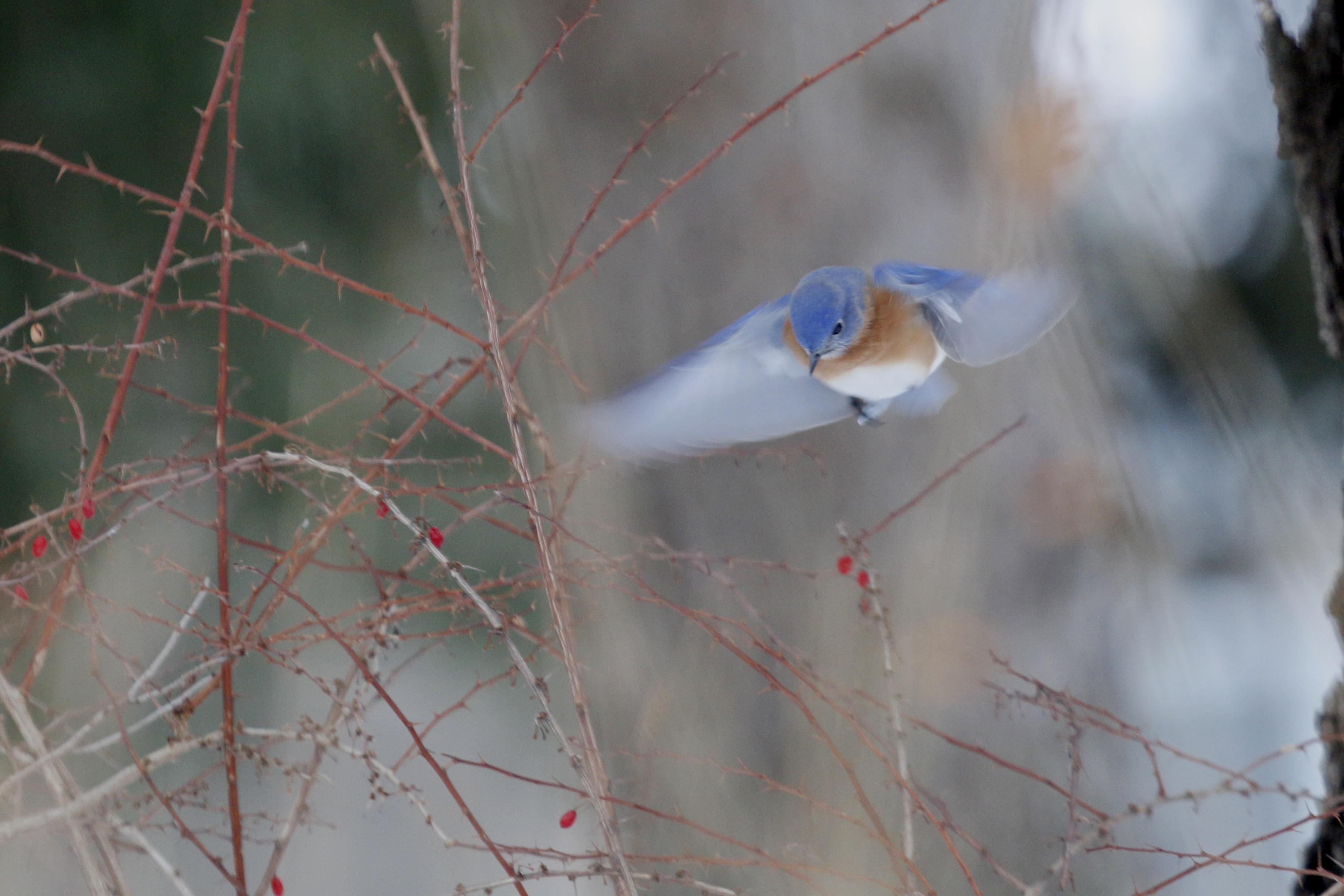 ~Eastern Bluebird, Goshen NY, 2/115.~