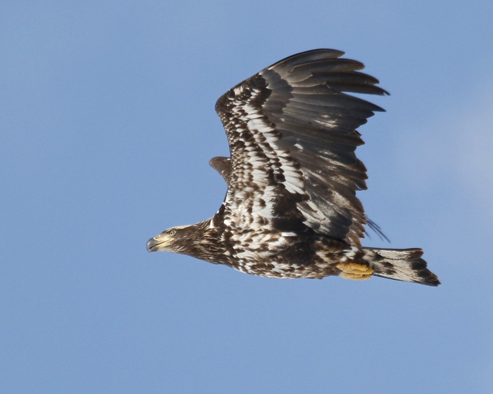 One more shot of the immature Bald Eagle that flew over me at Croton Point Park. I like the nice blue background in this photo, but the bird is soft.