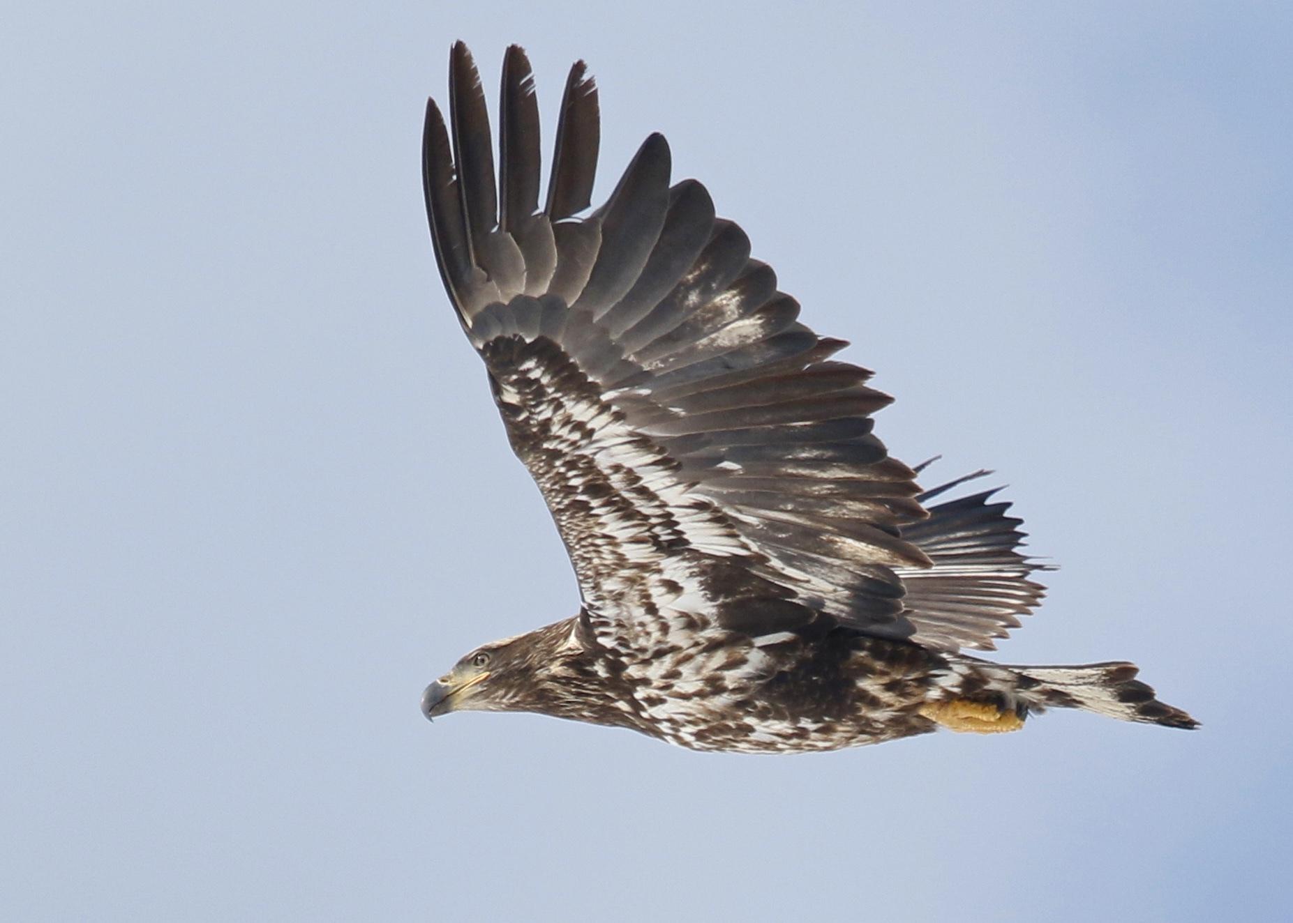 Croton Point Park Bald Eagle, 3/7/15.~