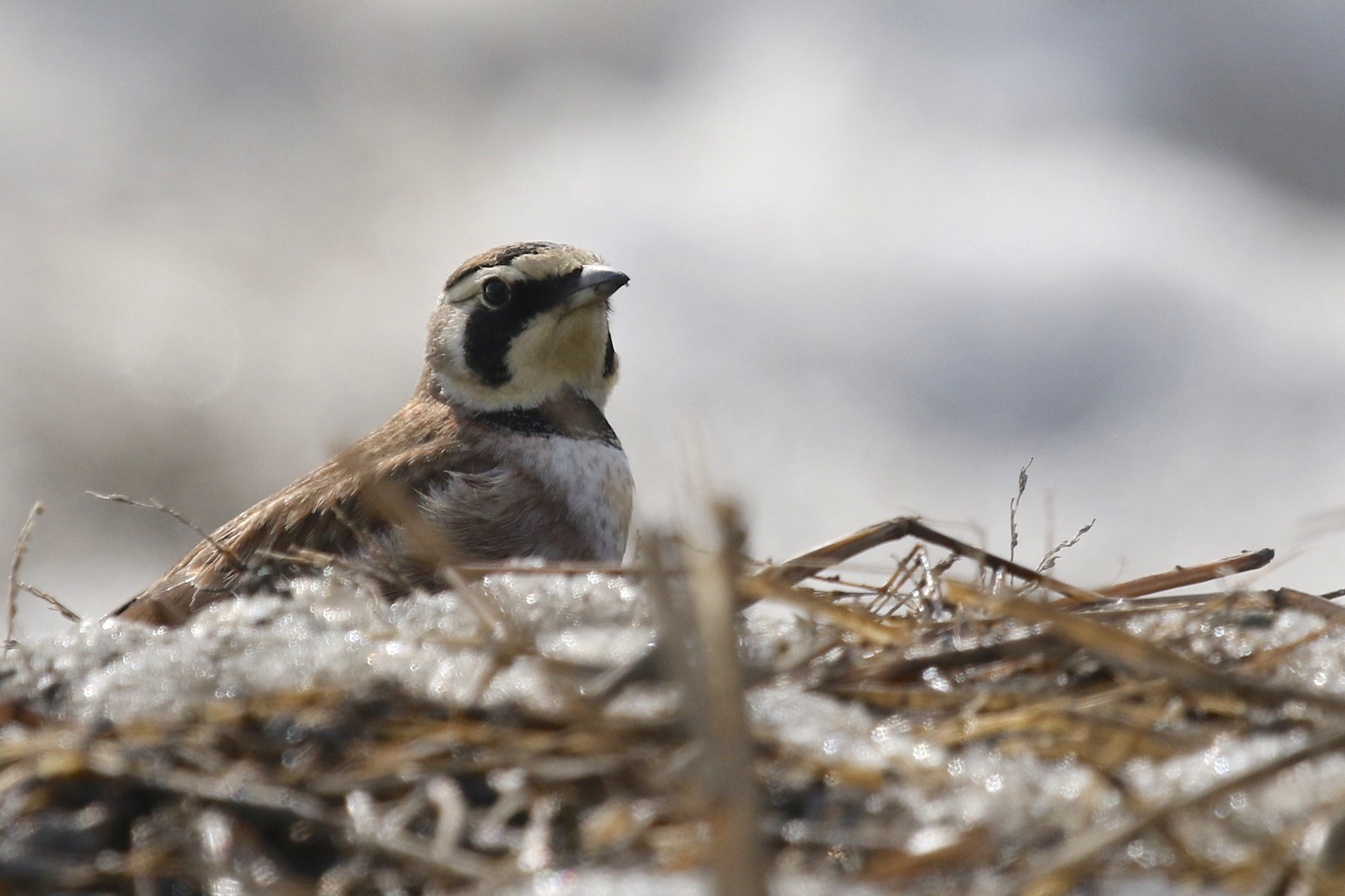 ~I didn't want to post a Horned Lark photo unless I got something a little different. I sort of like this shot, HOLA at Onion Avenue, 3/8/15.~