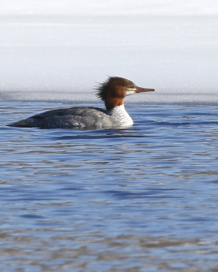 ~Common Merganser at Glenmere Lake, 3/9/15.~
