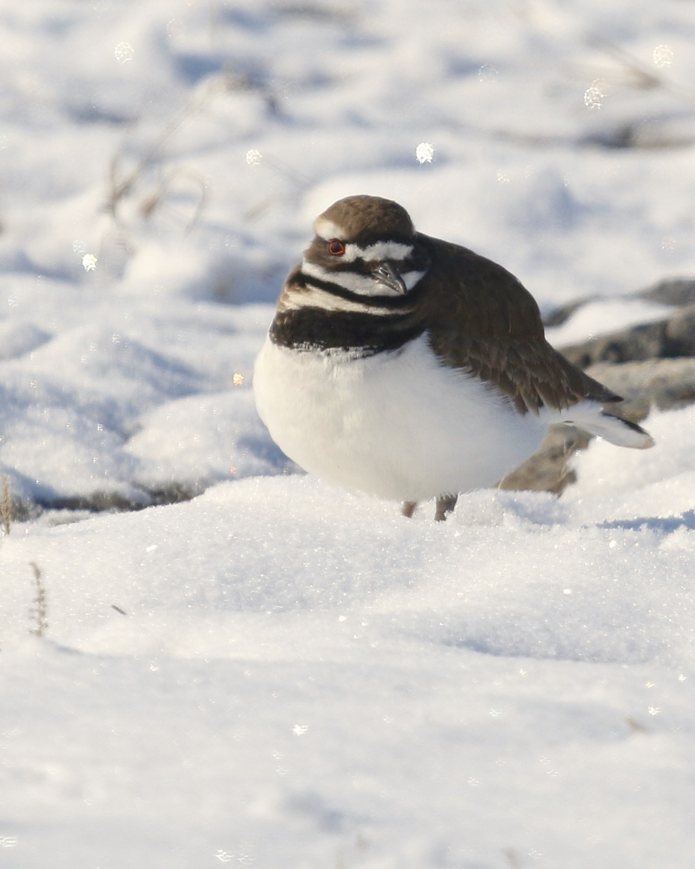 ~One of five Killdeer in the freshly fallen snow on the side of Onion Avenue in New Hampton, NY 3/21/15.~