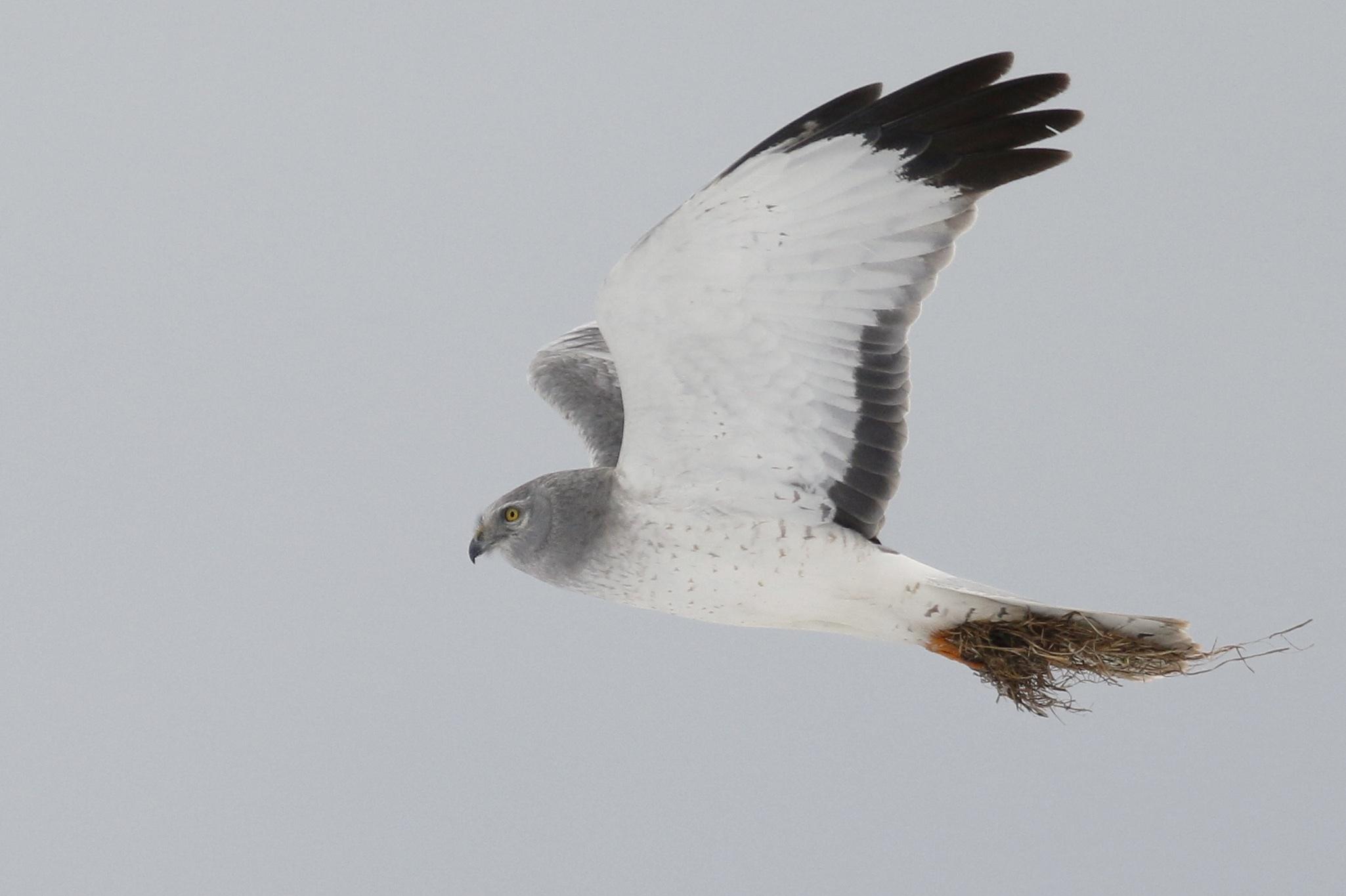 ~Northern Harrier, Missionland Road 3/21/15.~