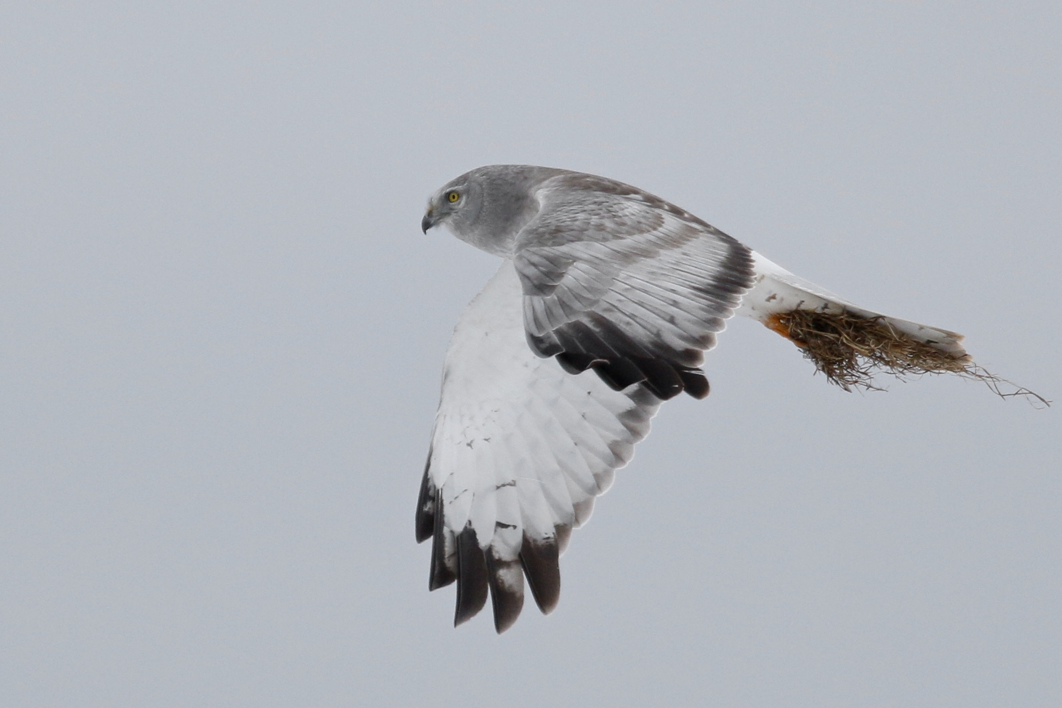I'm not sure what's going on here with the grasses in this bird's grasp. Prey within? Male Northern Harrier in flight at Missionland Road, 3/21/15.~