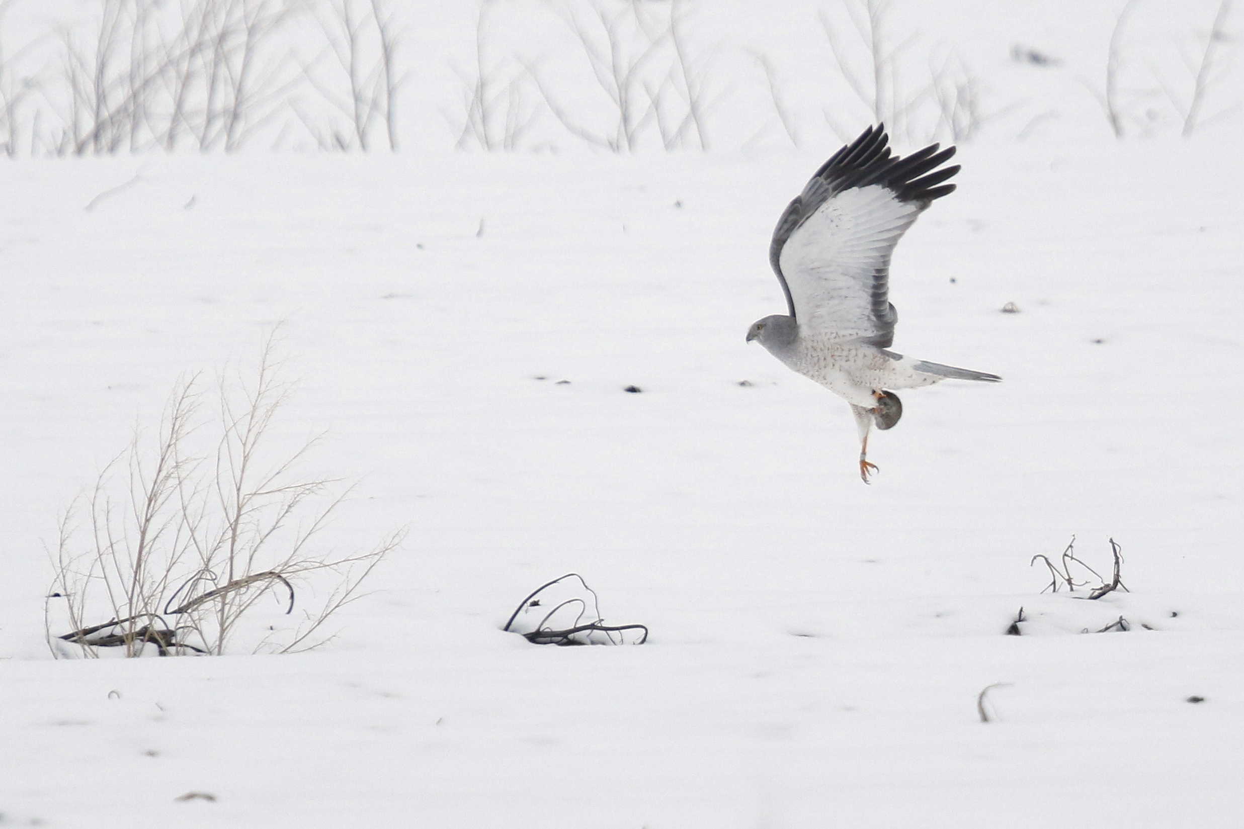 ~Not a great photo, but I included it because the bird not only has prey but is tagged. Northern Harrier on Missionland Road, 3/21/15.~