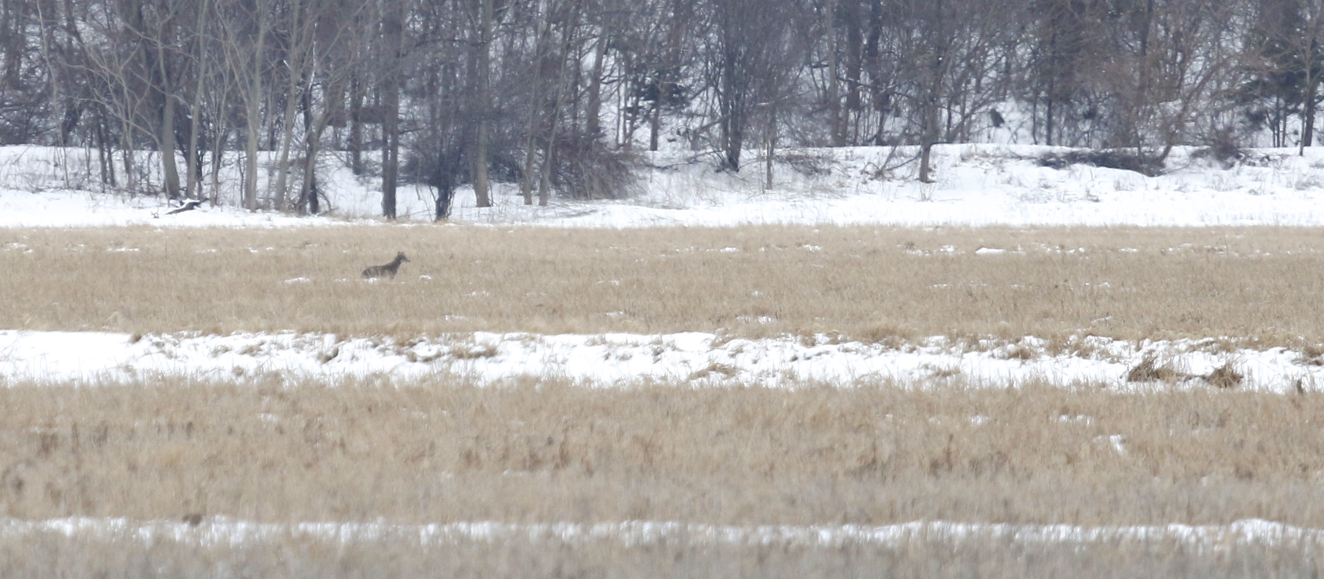~Coyote across the street from Scenic Farm Golf Course in Pine Island, NY 3/21/15.~