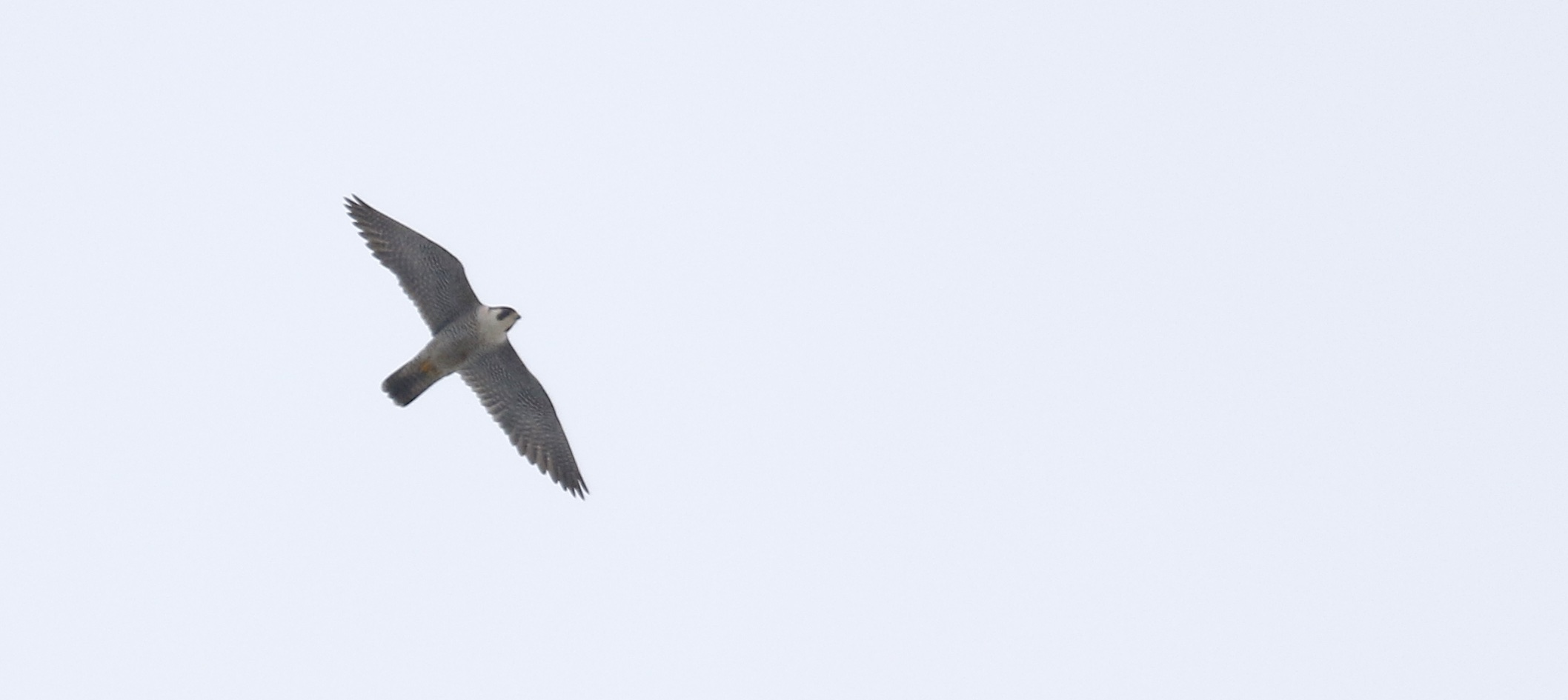 ~It's a lousy photo, but I had to include it because I was so excited to see this Peregrine Falcon doing its thing at the Wallkill River NWR, 3/21/15.~