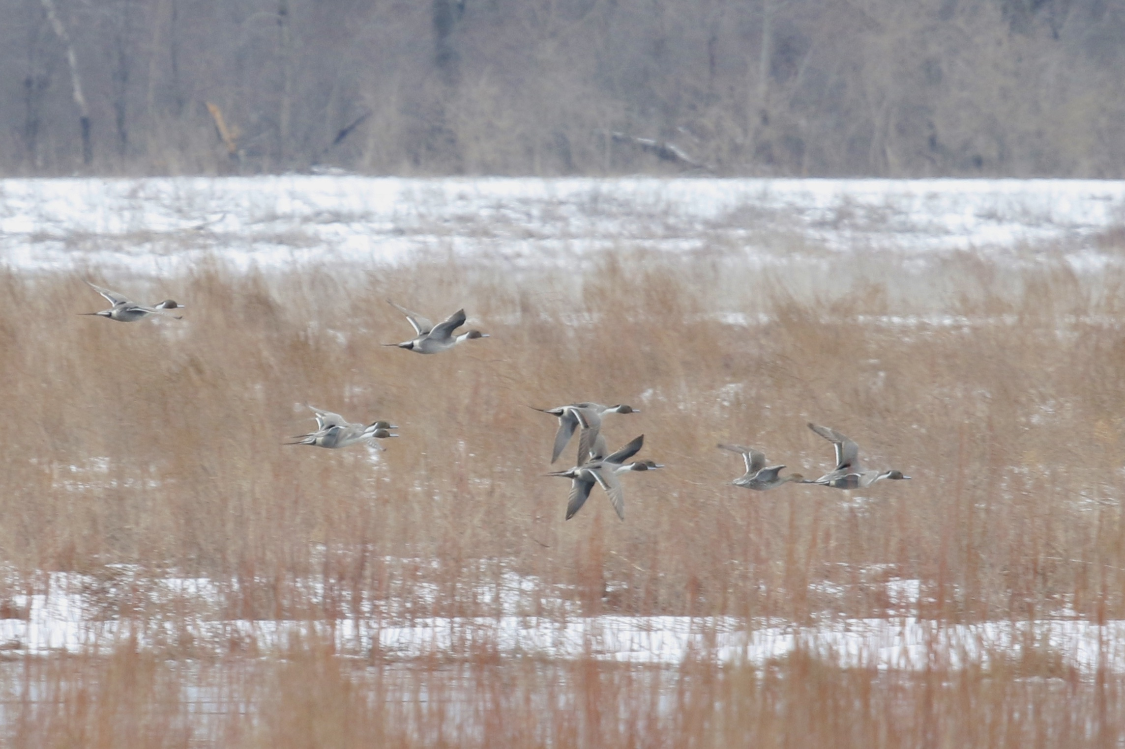 ~There were plenty of Northern Pintails at the refuge, Liberty Loop 3/21/15.~