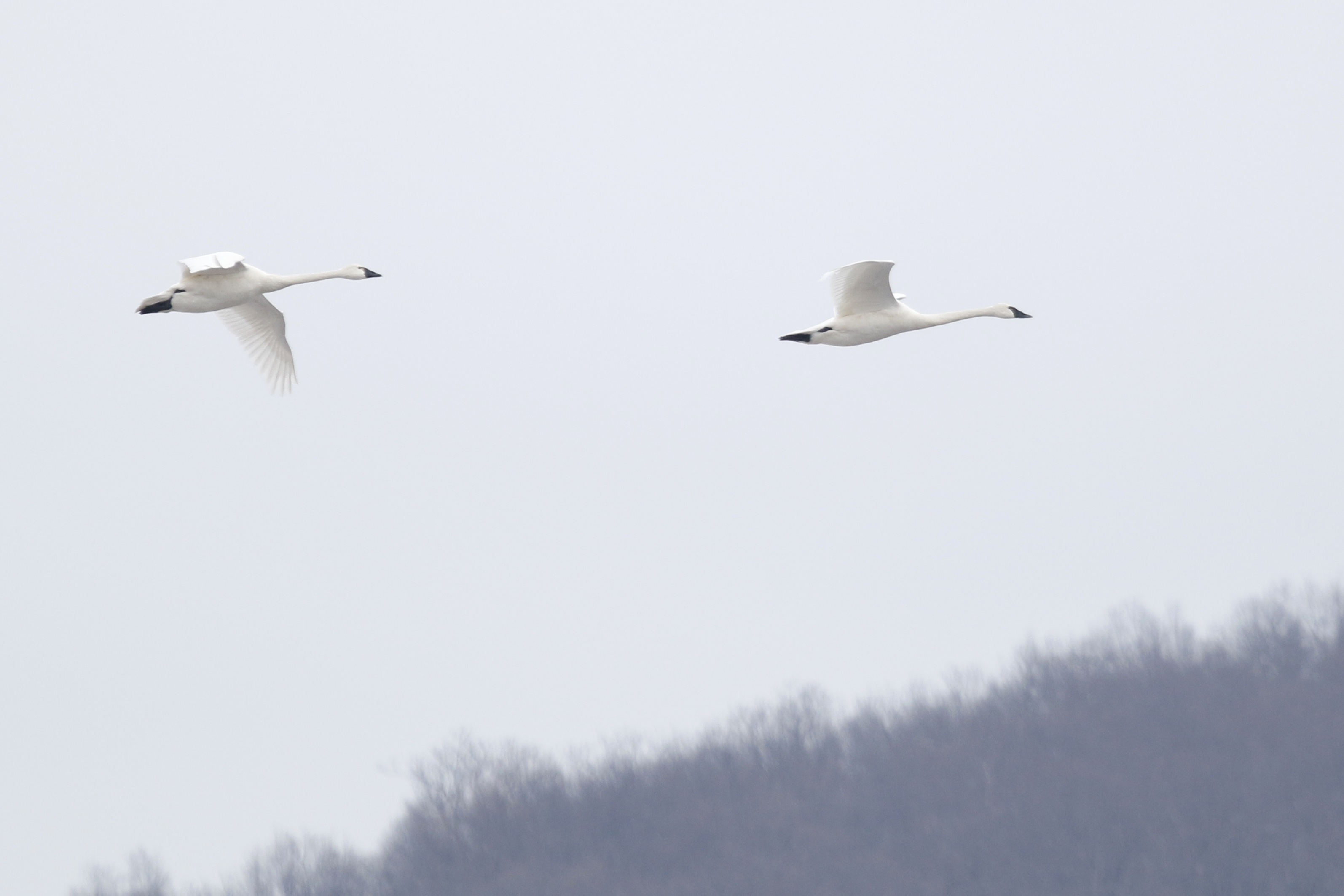 ~I was pretty psyched to see a pair of Tundra Swans fly in and land in the refuge. Walkill River NWR, 3/21/15.~