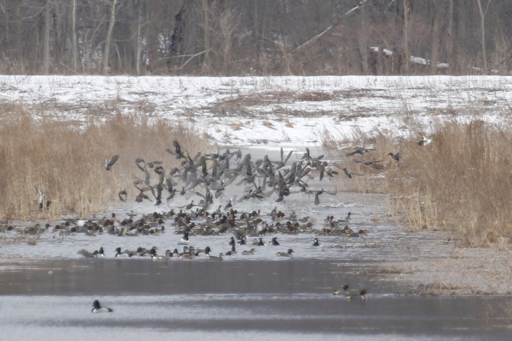 ~An explosion of ducks - Green-winged Teals and Ring-necked ducks mostly, with a few American Wigeon thrown in for good measure. Wallkill River NWR, 3/21/15.~