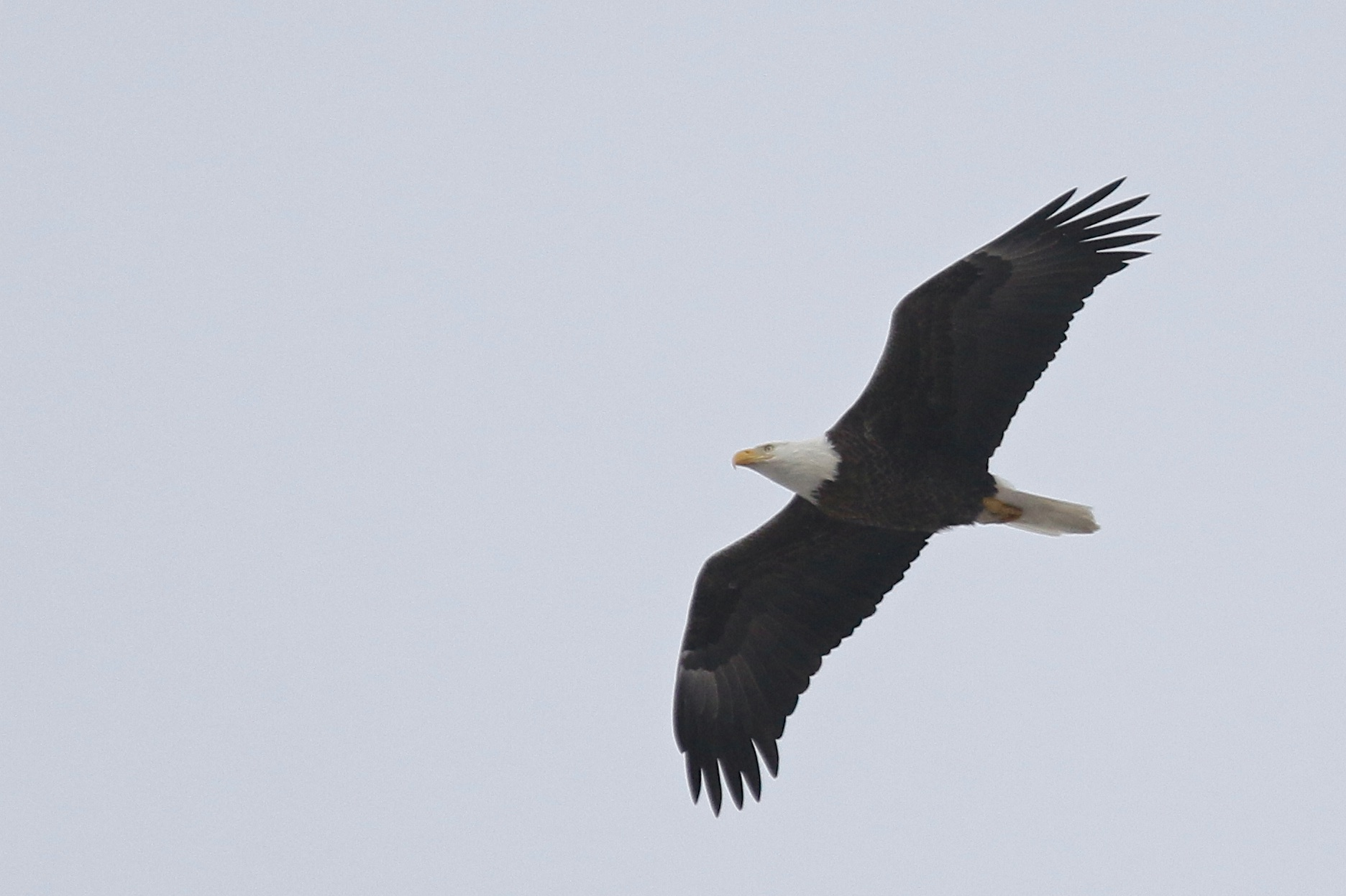~An adult Bald Eagle flies over the eastern leg of the Liberty Loop, 3/21/15.~