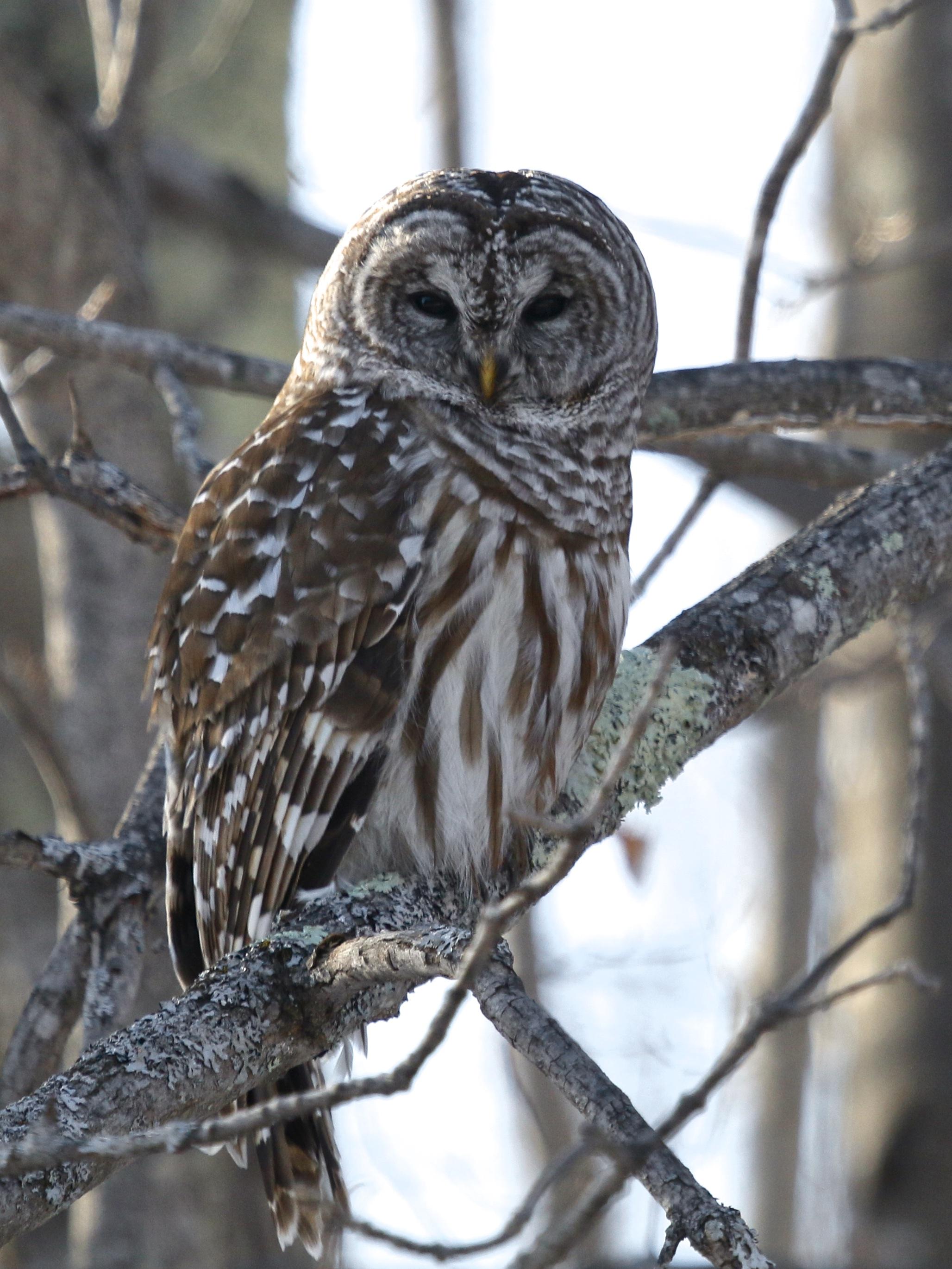 ~Barred Owl in Sullivan County, 3/24/15.~