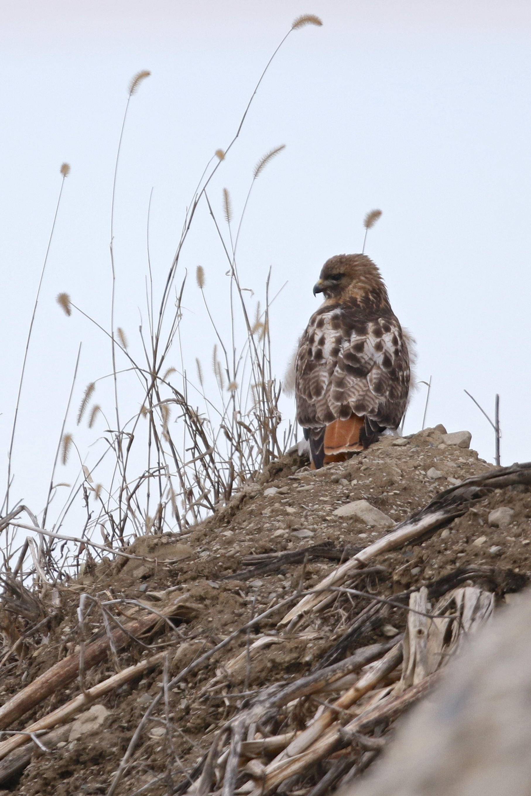 ~Red-tailed Hawk perched on a dirt pile off of Sanfordville Road in Warwick, NY 3/28/15.~