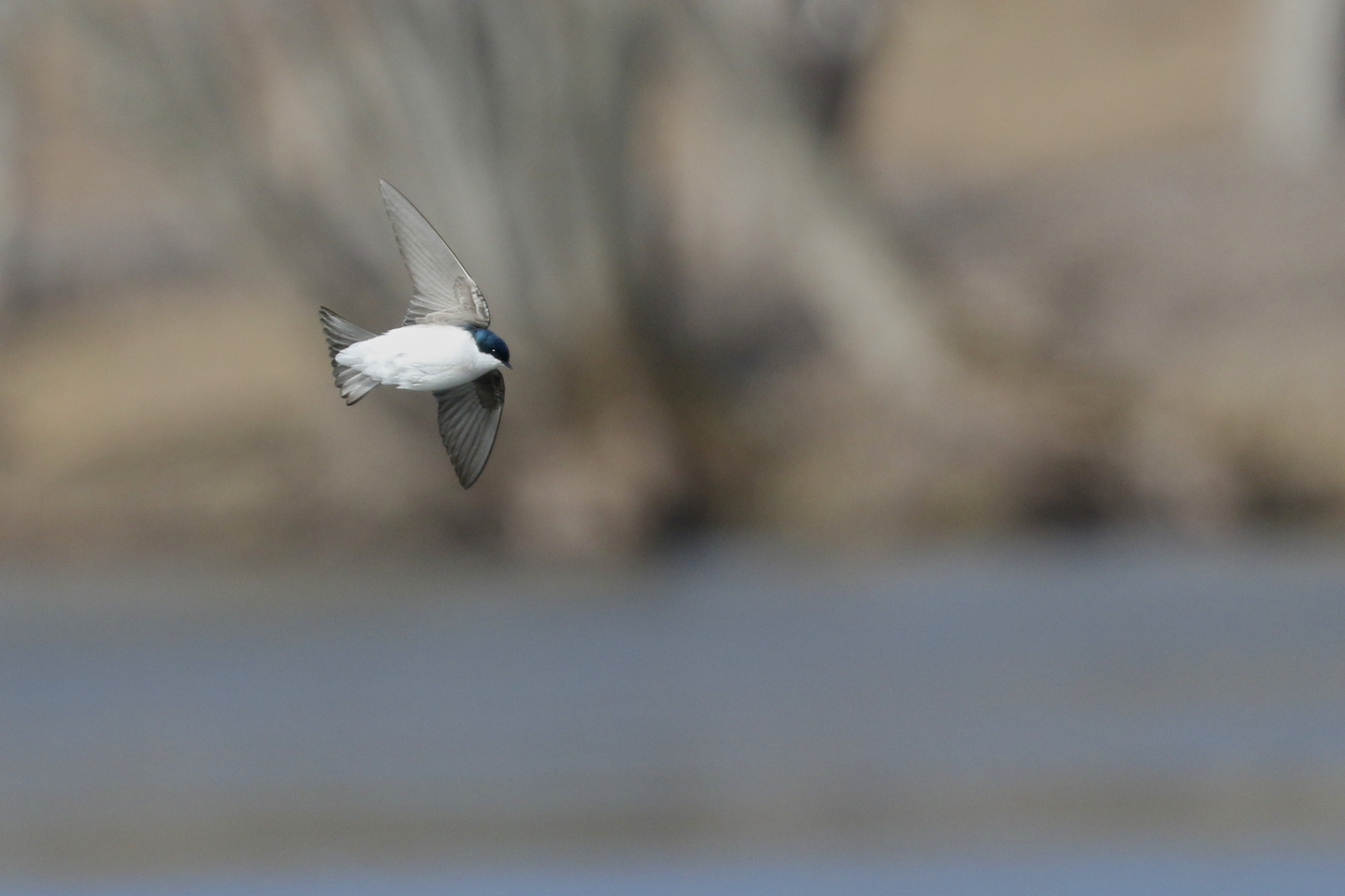 ~It was great to not only see the Tree Swallows, but to also get a decent photo of one. Laurel Grove Cemetery, 3/28/15.~
