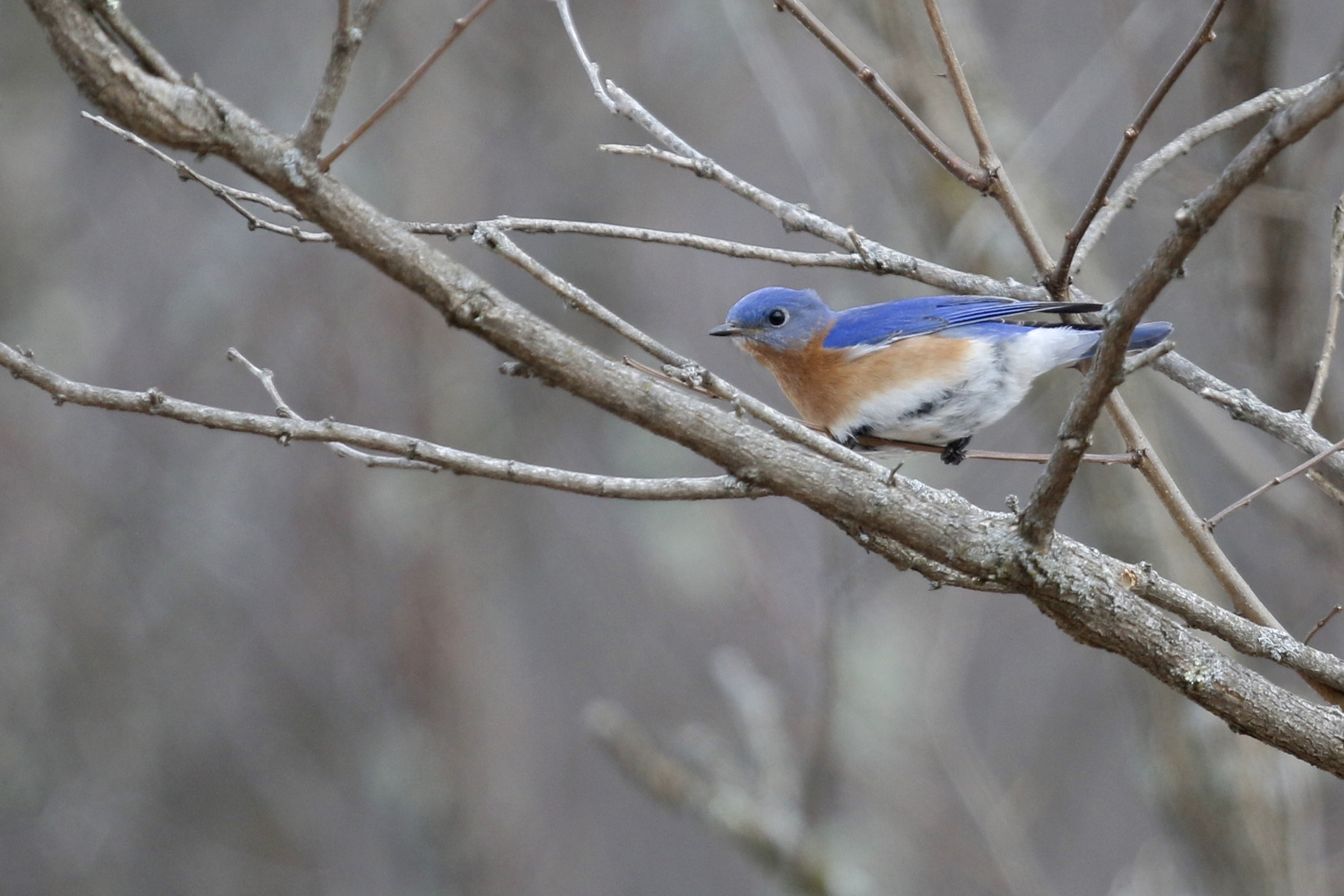 ~Eastern Bluebird at the Deli Fields, 3/28/15.~
