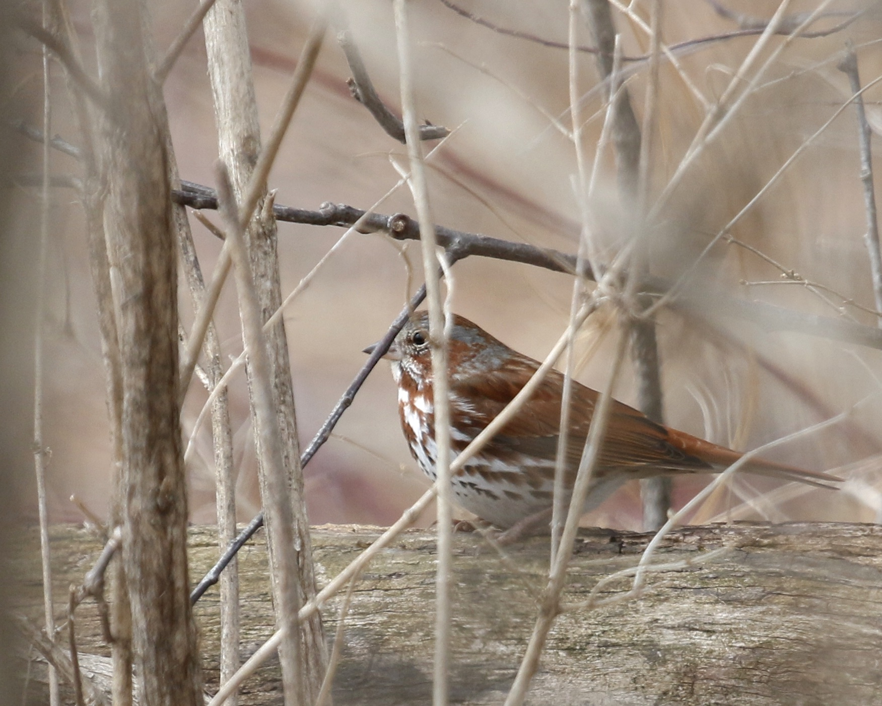 ~Fox Sparrow at the Bashakill Deli Fields, 3/28/15.~