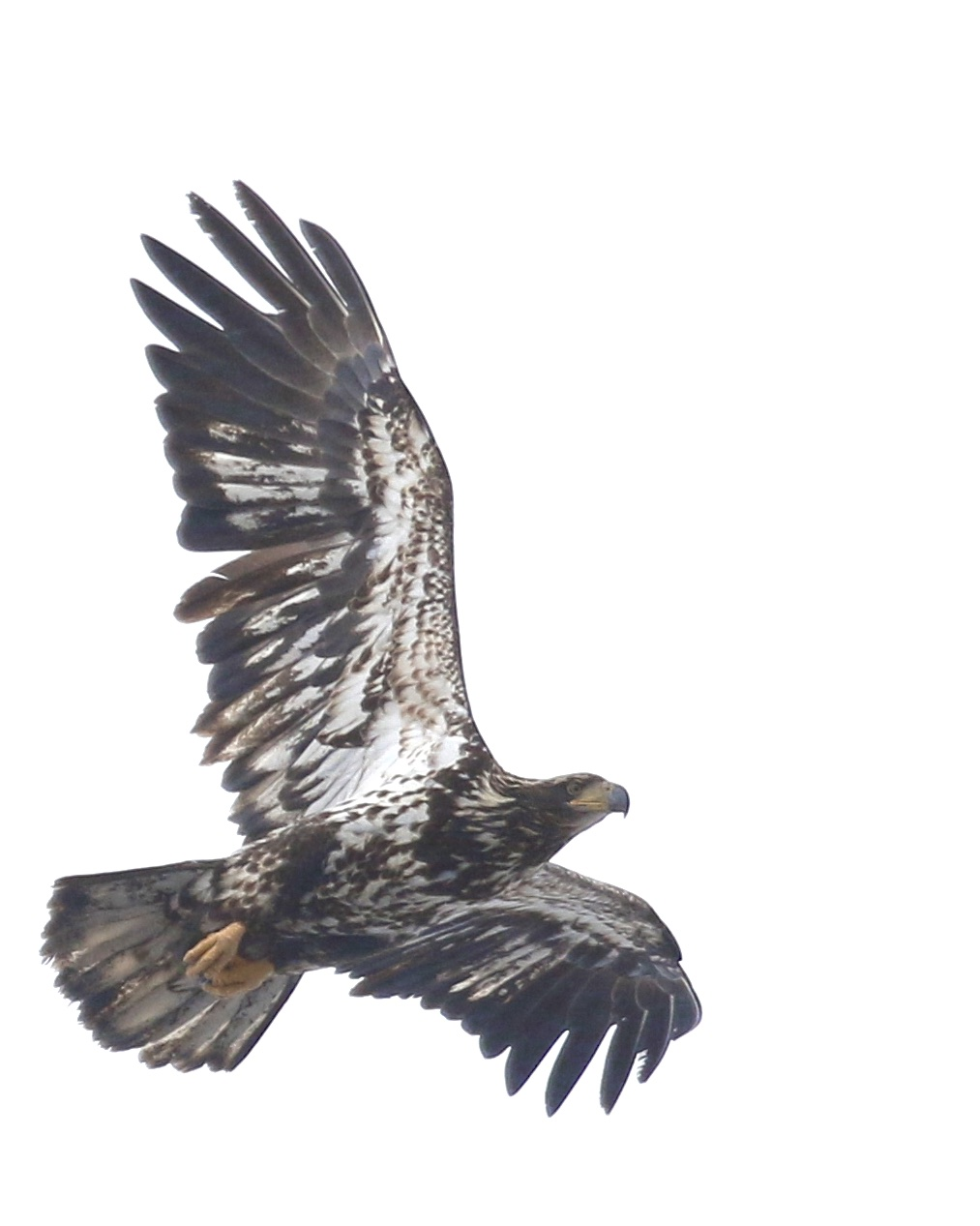 ~An immature Bald Eagle flies over Haven Road at the Bashakill, 3/28/15.~