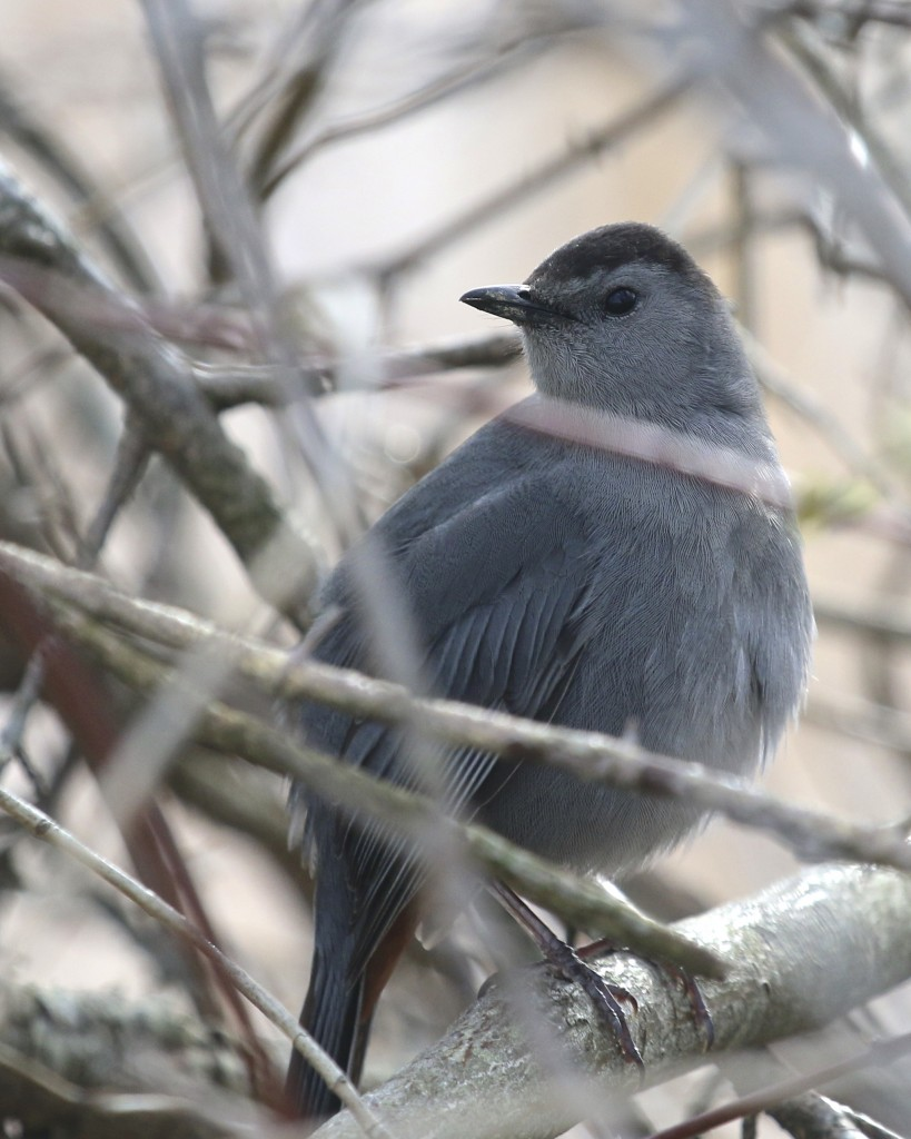 ~This is my FOY Gray Catbird, 6 1/2 Station Road Sanctuary, 4/30/15.~