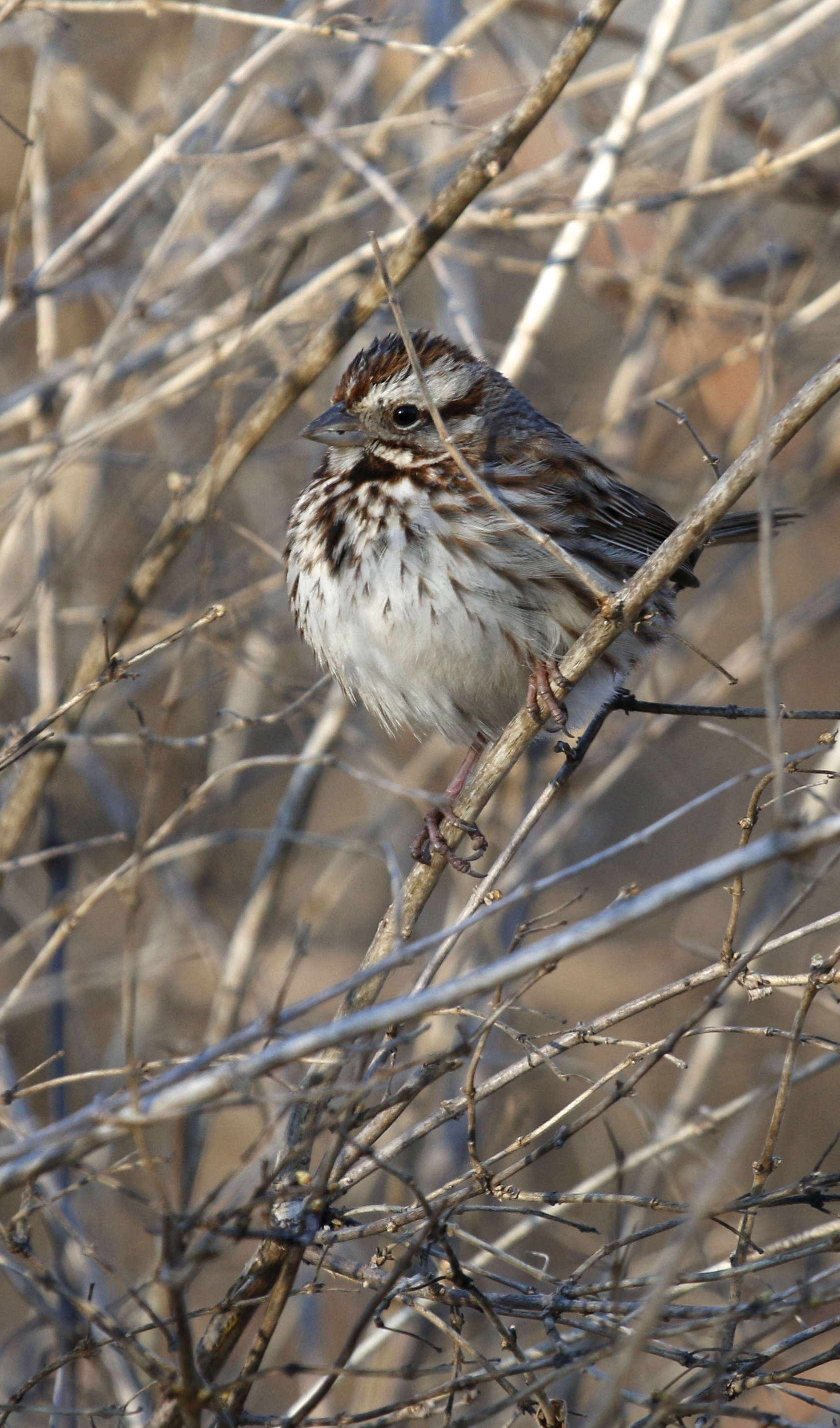 ~Song Sparrow in nice evening light, 6 1/2 Station Road Sanctuary, 4/1/15.~