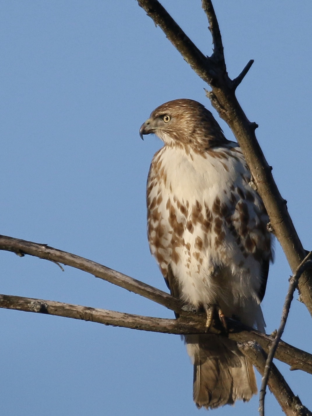 I got a nice look at this Red-tailed Hawk at 6 1/2 Station Road Sanctuary, 4/1/15.