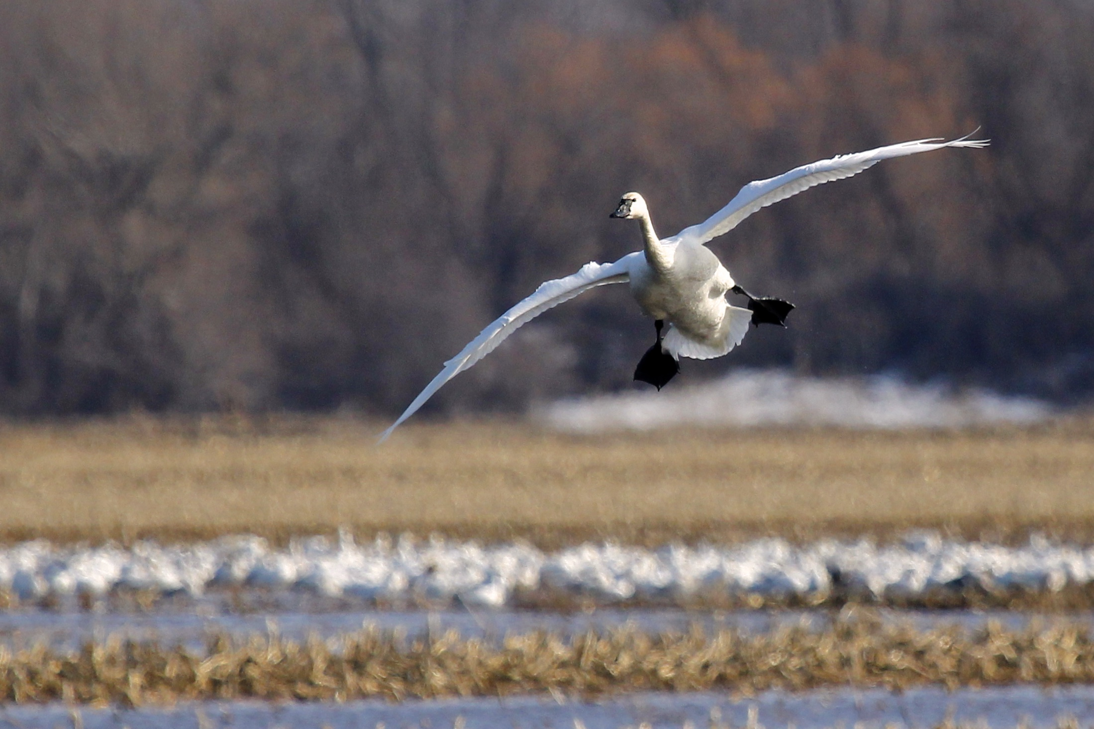 ~A Tundra Swan comes in for a landing at the Potato Fields at Montezuma National Wildlife Refuge, 4/4/15. Note the Snow Geese in the background.~