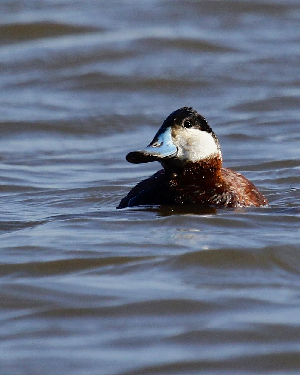 ~Ruddy Duck at Piermont Pier, 4/11/15.~