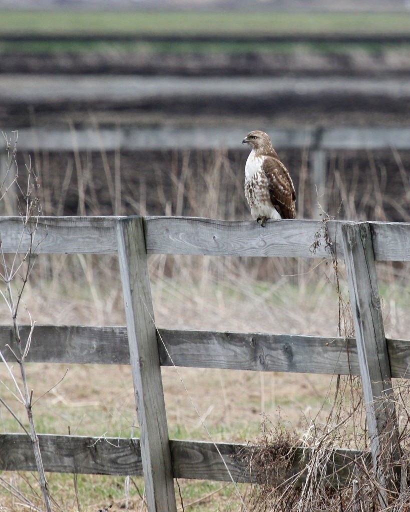 I came across this Red-tailed Hawk in my travels yesterday on Mt. Eve Road.