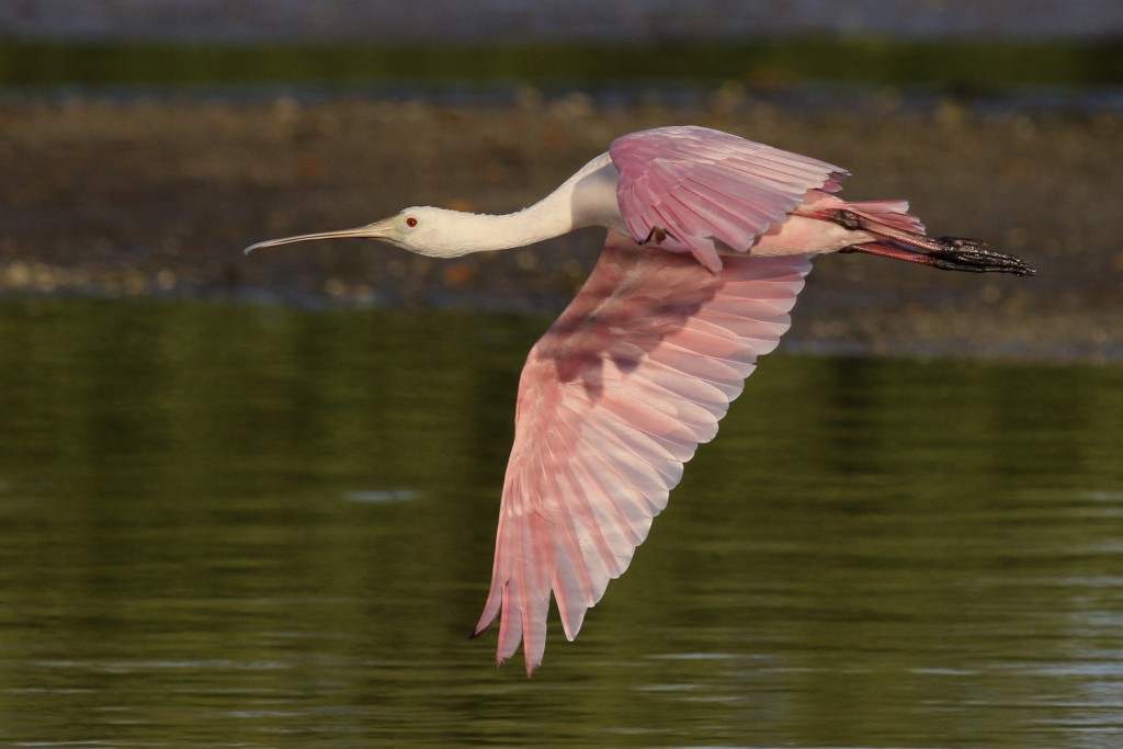 Roseate Spoonbill in flight, J.N. Ding Darling National Wildlife Refuge, 5/3/15.