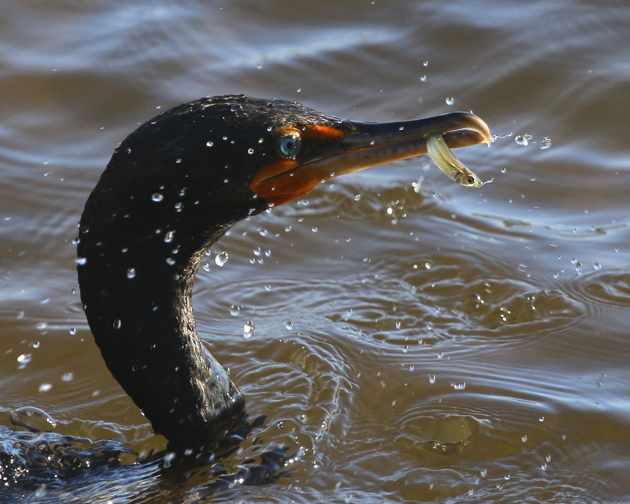 ~A Double-crested Cormorant comes up with a  small snack, J.N. Ding Darling National Wildlife Refuge, 5/3/15.~