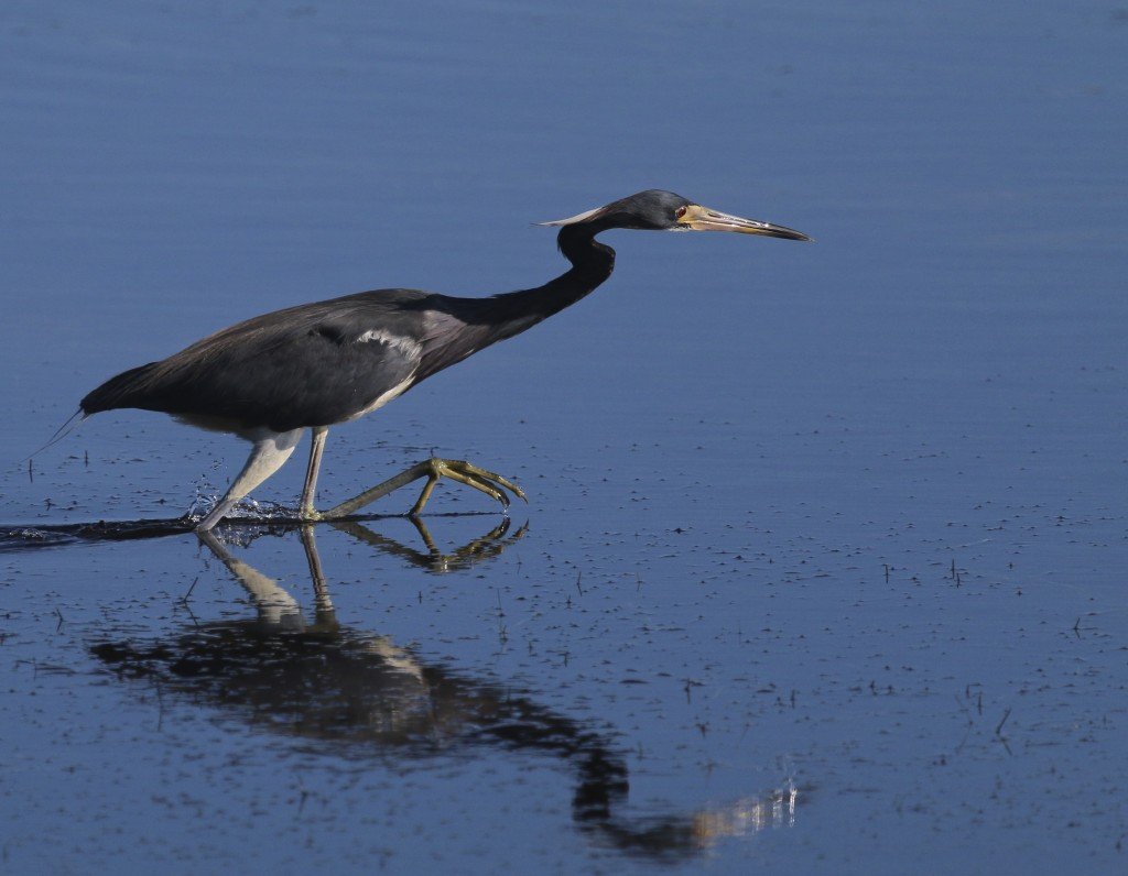 ~Tricolored Heron mid-step at  J.N. Ding Darling National Wildlife Refuge, 5/3/15.~