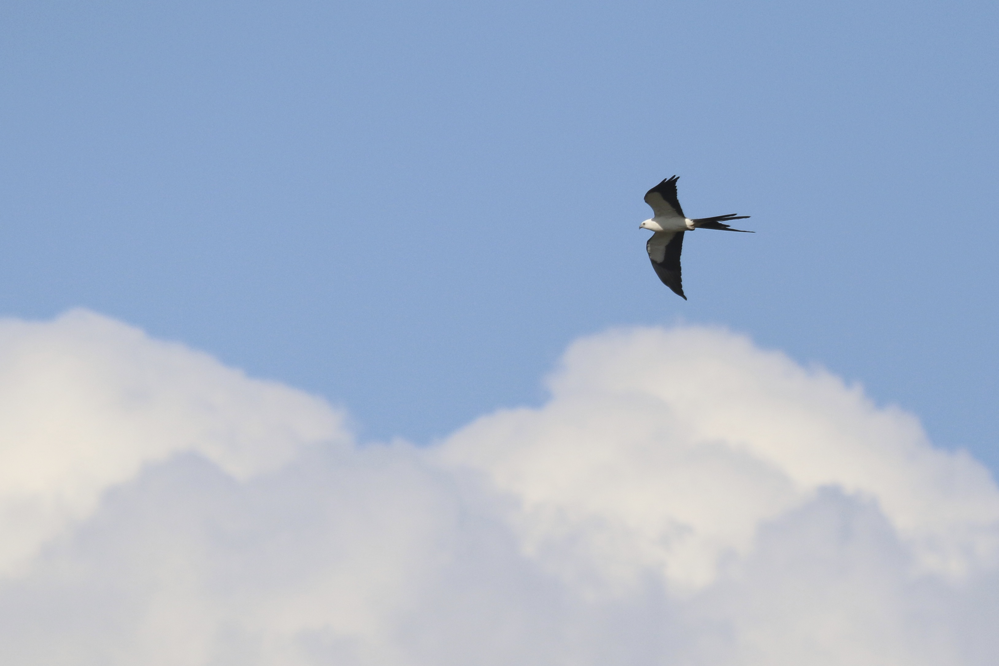 ~A Swallow-tailed Kite flies over our neighborhood in Bonita Springs Florida, 5/3/15.~