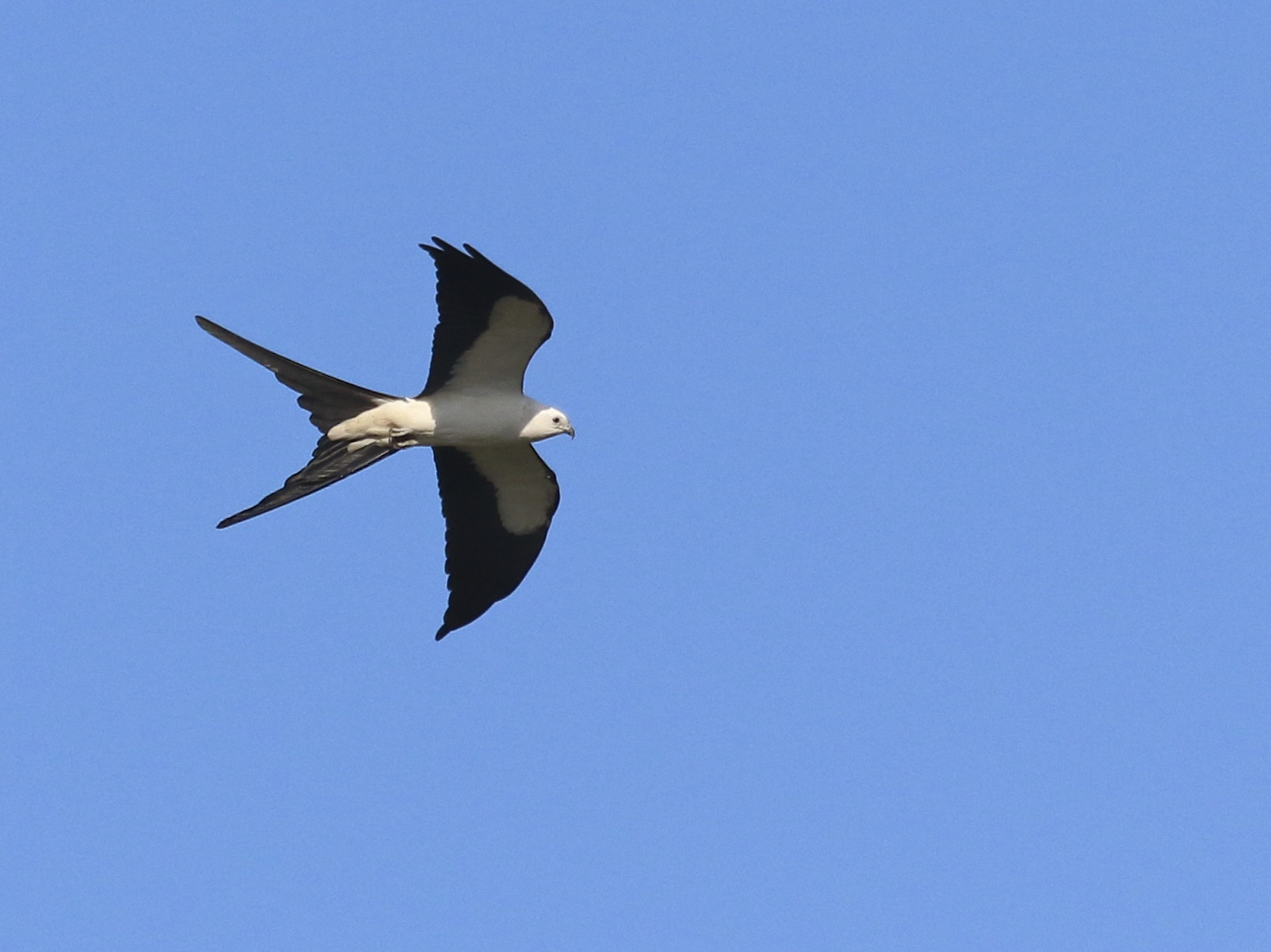 Another Swallow-tailed Kite  seen while biking in our neighborhood, Bonita Springs Florida 5/3/15.~
