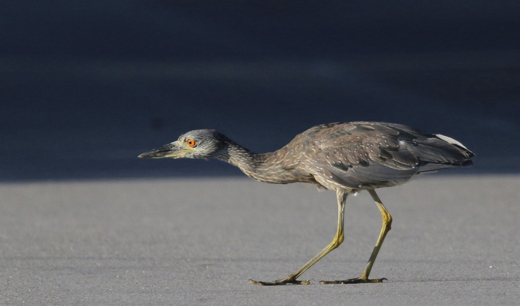 This young Yellow-crowned Night-heron was cracking me up. He/she was very stealthily stalking a shell on the road. J.N. Ding Darling National Wildlife Refuge, 5/4/15.