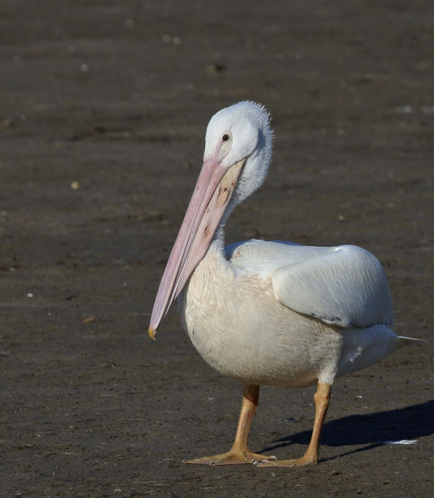 ~American White Pelican. This bird was all tucked in, to the point that you couldn't tell it was a pelican! J.N. Ding Darling National Wildlife Refuge, 5/4/15.~