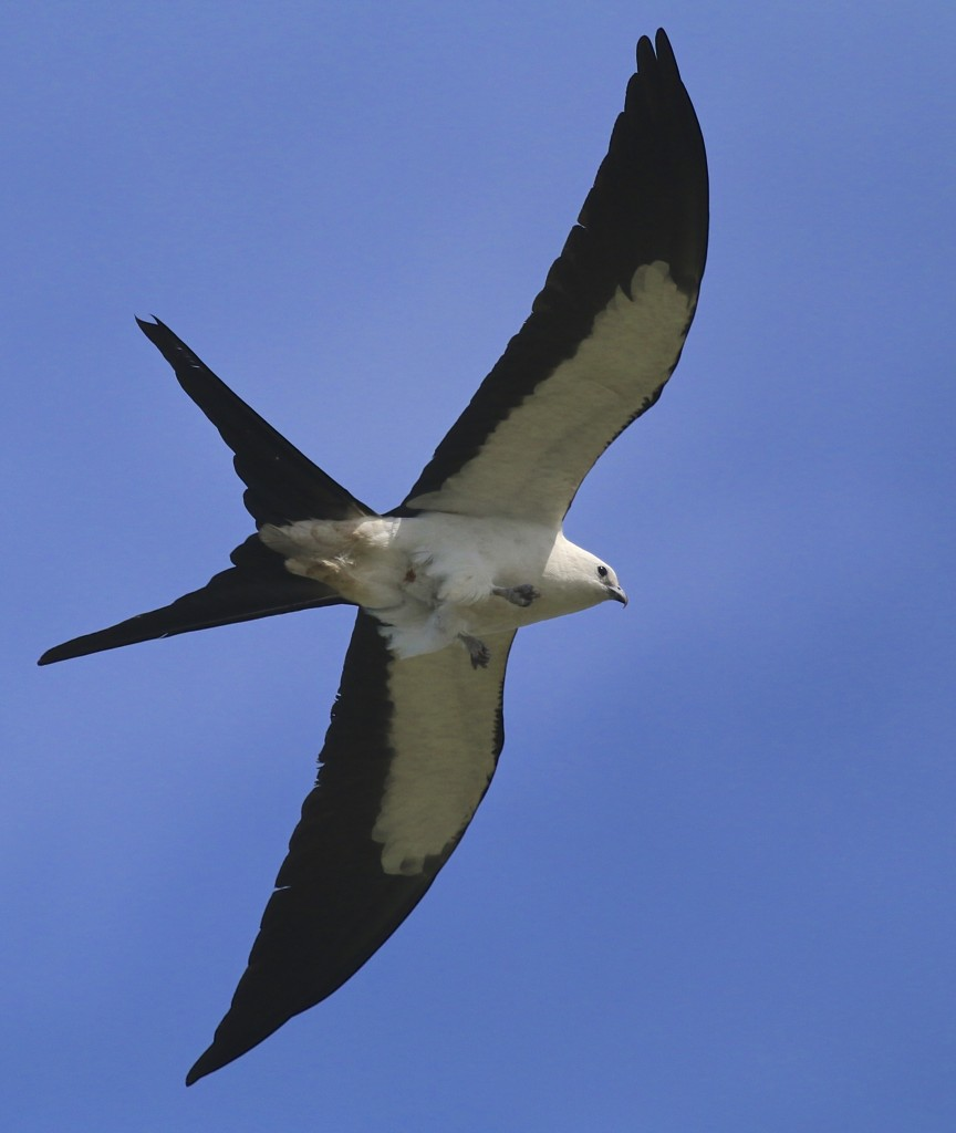 This was a favorite of mine, of course. A Swallow-tailed Kite soars overhead at J.N. Ding Darling National Wildlife Refuge, 5/4/15.