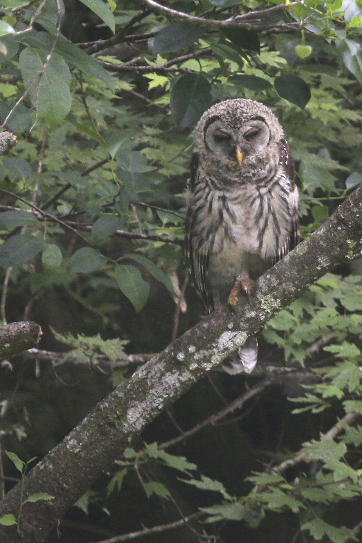 ~A young Barred Owl at Corkscrew Swamp Sanctuary, 5/5/15.~