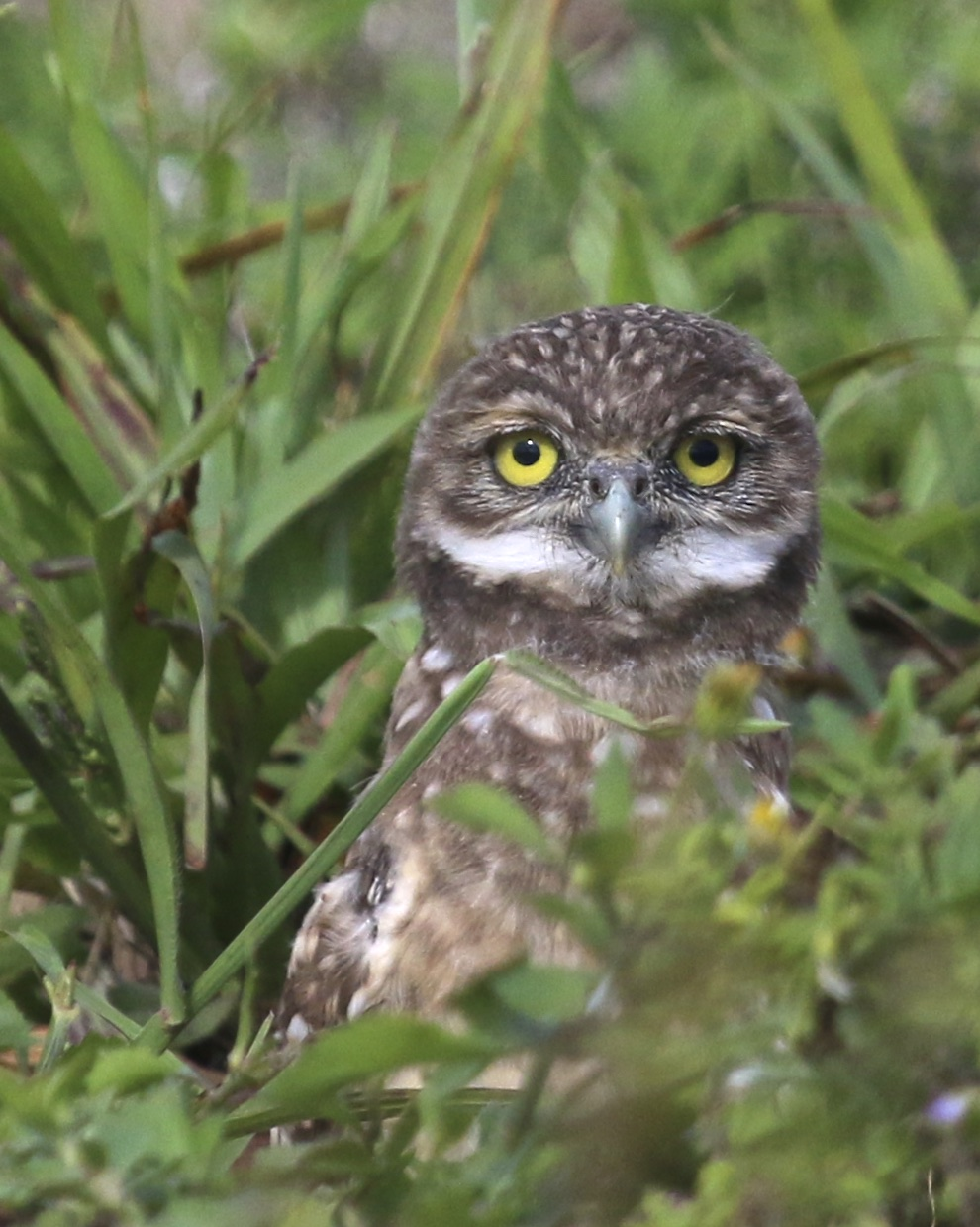 ~Close up of one of the young Burrowing Owls, Cape Coral Florida, 5/5/15.~