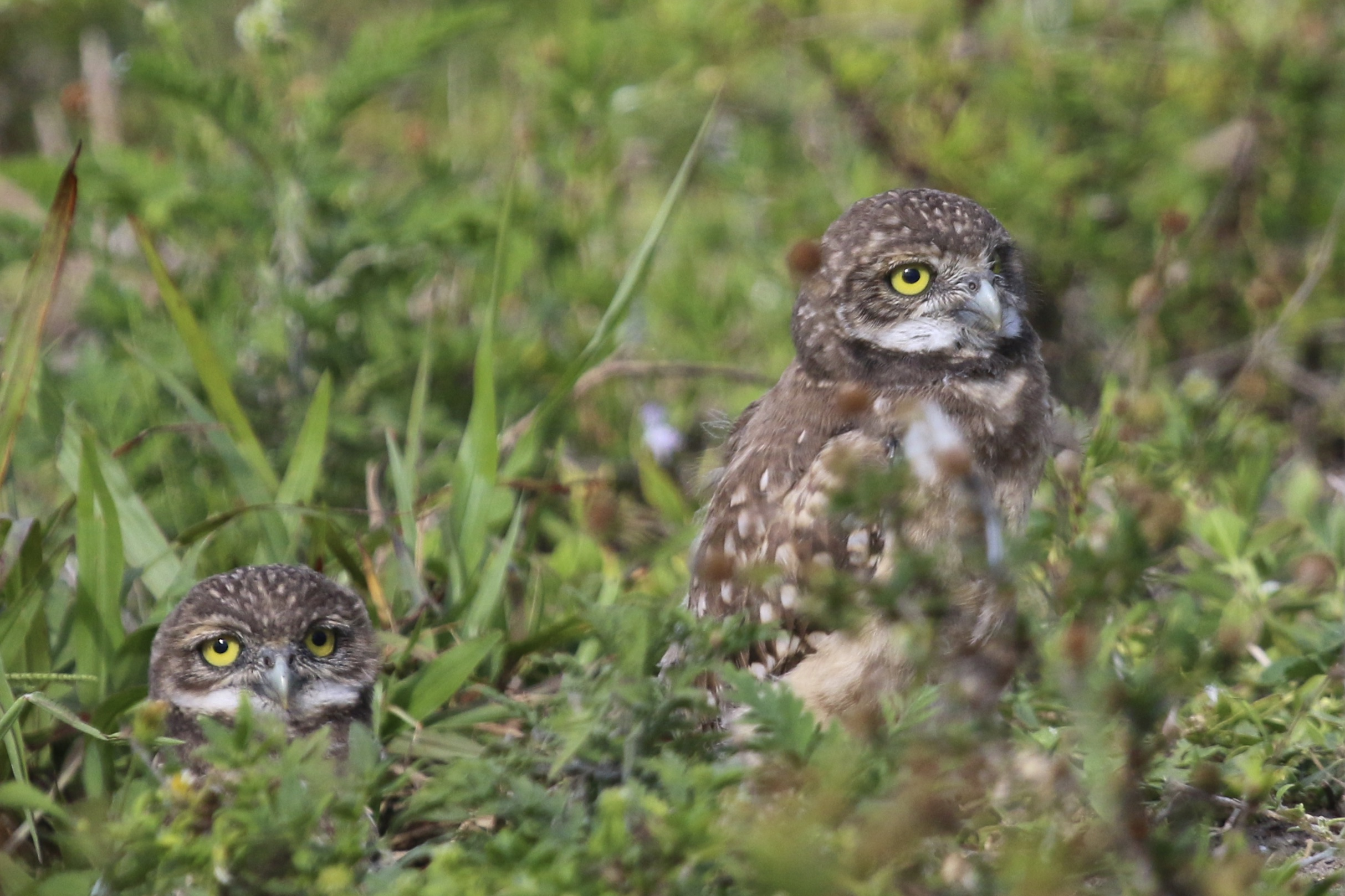 ~A pair of young Burrowing Owls in Cape Coral, Florida 5/5/15.~
