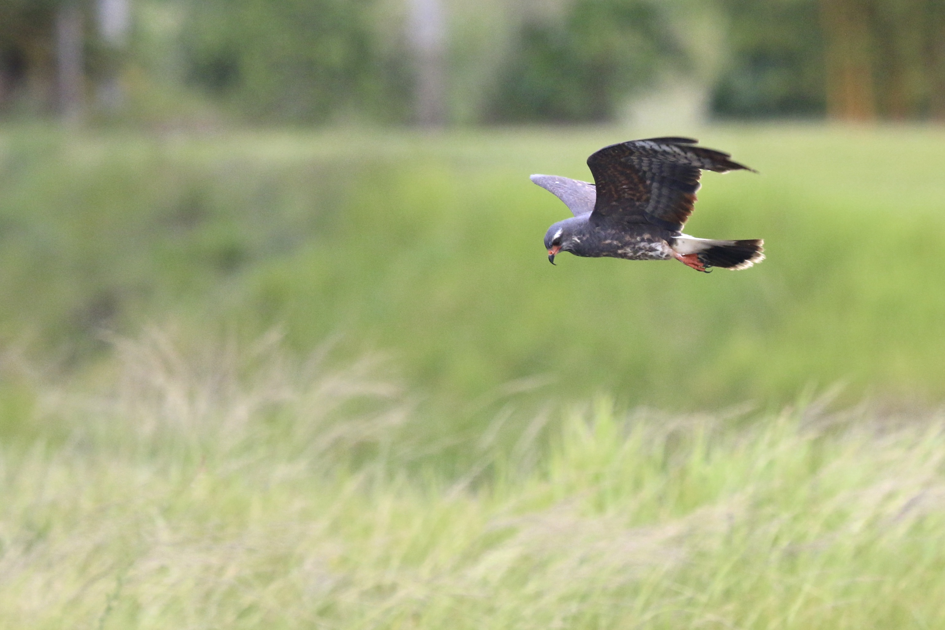 ~Snail Kite flying over an irrigation ditch near Harn's Marsh, 5/5/15.~