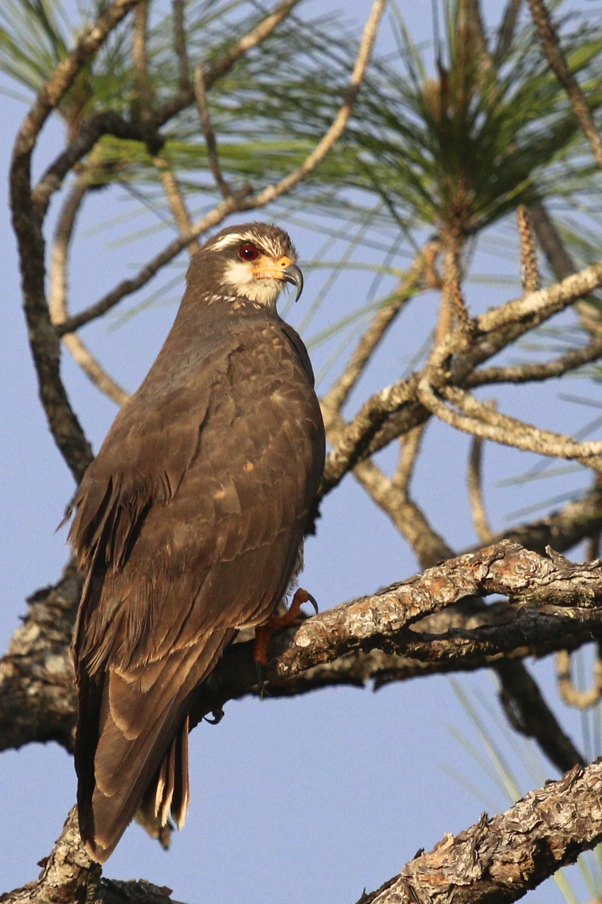 ~A female Snail Kite takes a break from snail hunting near Harn's Marsh in Fort Myers Florida, 5/5/15.~