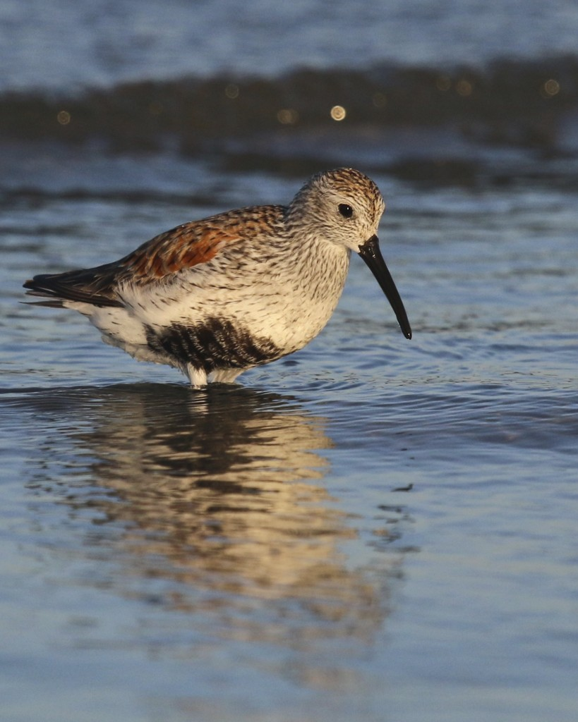 ~There were plenty of Dunlin present on both days, Bunche Beach 5/7/15.~