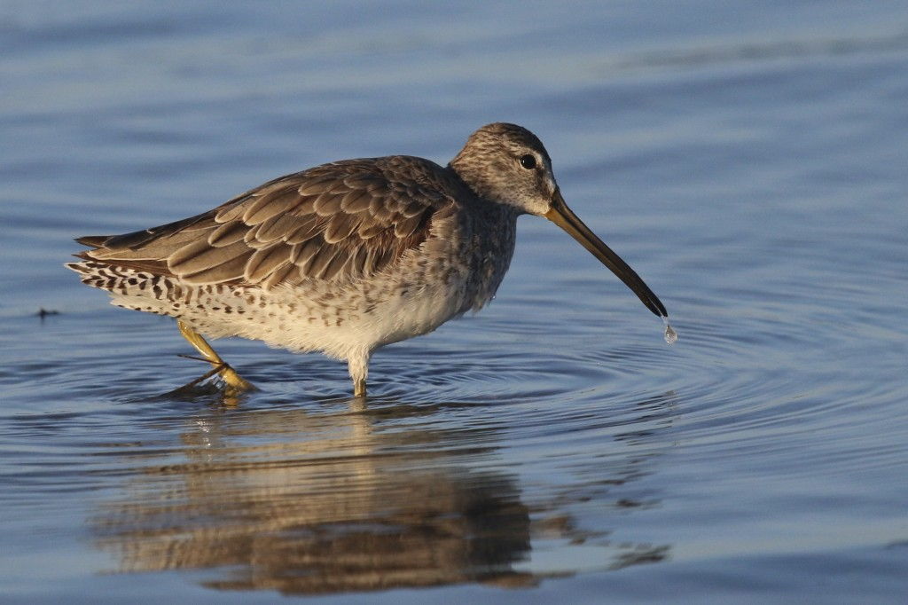 ~This was one of my tougher ID's - I have it as a Short-billed Dowitcher. The size seemed right for this and I looked at other reports from Bunche Beach earlier in the week and SBDOs were on several lists. At Bunche Beach on 5/7/15.~