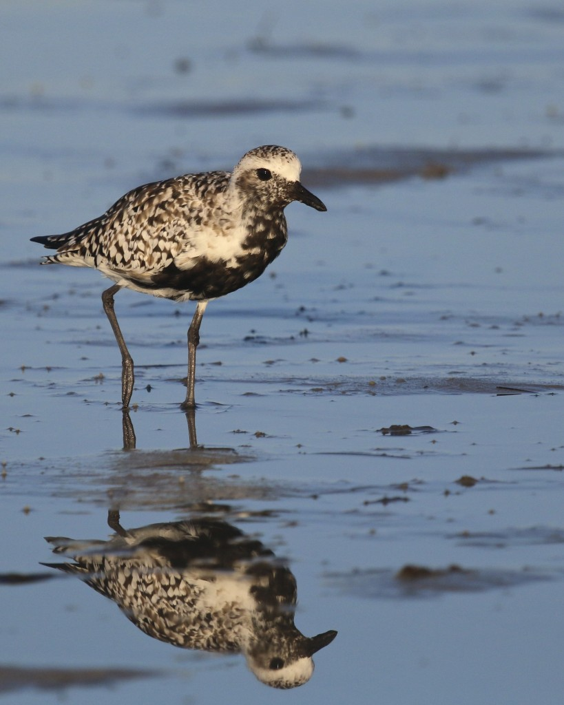 ~Black-bellied Plover and reflection. Bunche Beach, 5/7/15.~