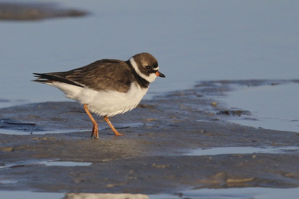 ~Always cute, a Semipalmated Plover cruises the shoreline at Bunche Beach, 5/8/15.~