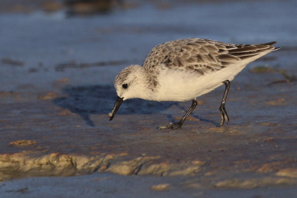 ~I think I am getting a handle on this bird (but maybe I'm wrong!). Sanderling at Bunche Beach, 5/7/15.~