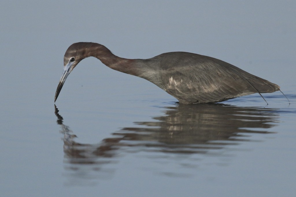 ~This one's for Tricia - Little Blue Heron just after sunrise. Bunche Beach 5/7/15.~