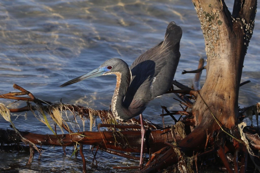 ~A Tricolored Heron hunts along the shoreline. Bunche Beach, 5/8/15.~