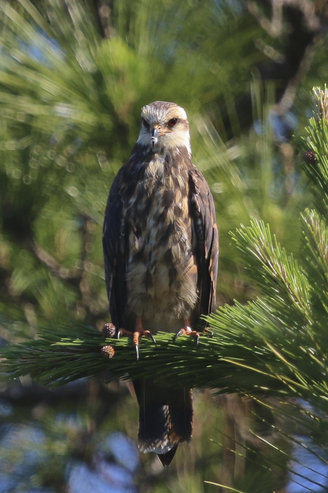 ~Immature Snail Kite, perched near Harn's Marsh in Fort Myers Florida, 5/7/15.~