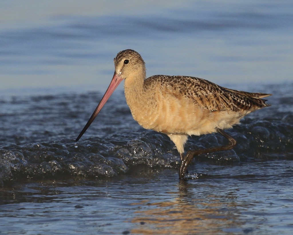 ~This was definitely THE bird for me at Bunche Beach. MARBLED GODWIT at Bunche Beach, 5/8/15.~